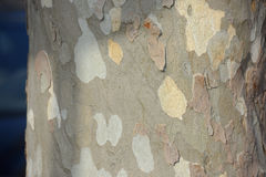 A plane tree. Close up of a bark of a plane tree Stock Images