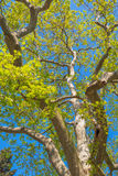 Plane tree close up Royalty Free Stock Images