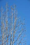 Plane tree Royalty Free Stock Photos