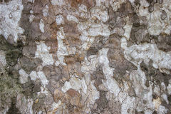Plane tree closeup, platanus acerifolia background Stock Photography