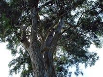 Plane tree Stock Photography