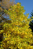 Plane tree east (Platanus orientalis L.) in the fall Stock Images