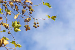 Plane tree fruits in autumn Royalty Free Stock Image