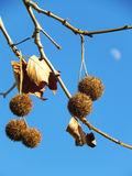 Plane tree fruits with moon Stock Photography