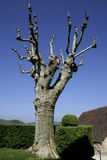 Plane-tree in green Stock Image