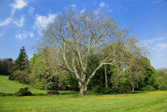 Plane tree on green spring glade Royalty Free Stock Images