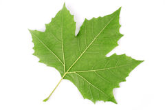 Plane tree leaf Stock Photography