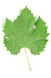 Plane tree leaf Royalty Free Stock Photos