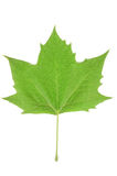 Plane tree leaf Royalty Free Stock Images