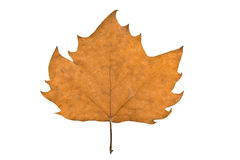 Plane-tree leaf Royalty Free Stock Image