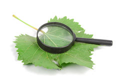 Plane tree leaf and magnifier Stock Photo