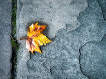 Plane Tree Leaf in a Pavement Stock Images