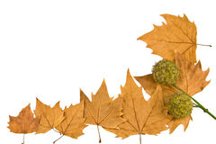 Plane-tree leafes Royalty Free Stock Images