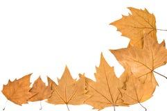 Plane-tree leafes Stock Photo