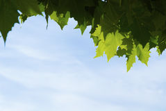 Plane-tree leaves Royalty Free Stock Images