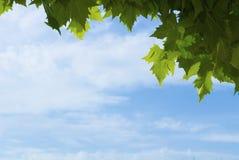Plane-tree leaves Stock Photos