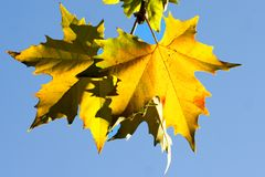 Plane Tree Leaves Royalty Free Stock Image
