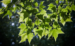 Plane tree leaves Stock Images
