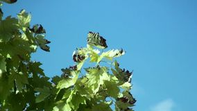 Plane tree leaves swaying in the wind on a summer day stock footage