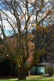 Bare plane tree in autumn stock photos