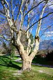 Bare plane tree in autumn royalty free stock photo