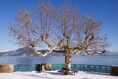 Plane tree on Maggiore lake Royalty Free Stock Image