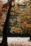 Plane tree near a river. Royalty Free Stock Image