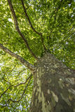Plane tree Royalty Free Stock Image