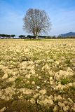 plane tree in a plowed field - (Tuscany countryside - I Royalty Free Stock Photography