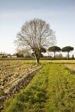 plane tree in a plowed field Stock Photo