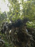 Plane tree roots stock photography