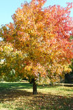 Plane Tree In Season. Colorful leafs are covering the branches of plane tree Stock Photos
