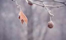 Plane tree seed ball and leaf Royalty Free Stock Photos