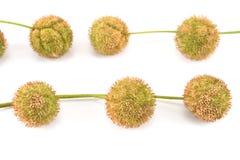 Plane-tree seed balls Stock Photo