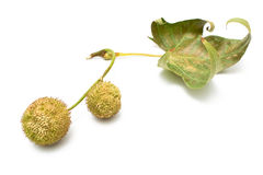 Plane-tree seed balls in autumn Stock Photo