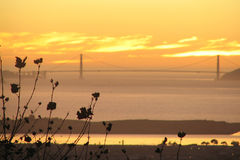 Plane tree_SF bay_Golden Gate. Golden Gate Bridge seen on the background, from across the San Francisco Bay, behing a London plane tree, during sunset Stock Photography