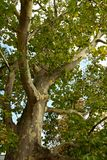 Plane tree Stock Photography
