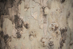 Plane tree texture. Texture of the plane tree in Odessa, Ukraine Stock Photography