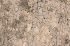 Plane tree texture. Texture of the plane tree in Odessa, Ukraine Royalty Free Stock Photography