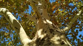 Plane tree trunk with branches and bright foliage royalty free stock images