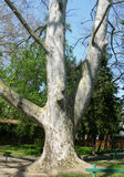 Plane tree trunk detail Royalty Free Stock Photos
