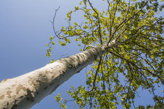 Plane tree. View from below of a plane tree Stock Photo