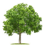 Plane tree on a white background Stock Image