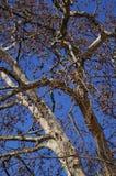 Plane tree Royalty Free Stock Photography