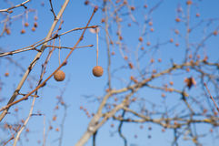 Plane tree winter branches background Royalty Free Stock Photo