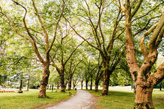 Plane trees. Alley of plane trees in the Stanley park stock images