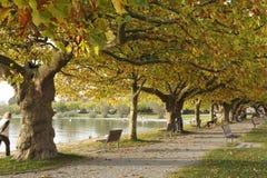 Plane trees in autumn foliage, Radolfzell. Plane trees in autumn foliage along the banks of Lake Constance in Radolfzell, Germany. Visitiors to the lake are stock photos