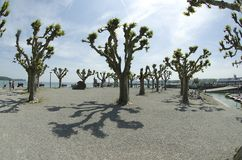 Plane trees Grove in Konstanz Royalty Free Stock Image