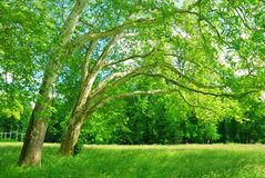 Plane trees grove in springtime royalty free stock image