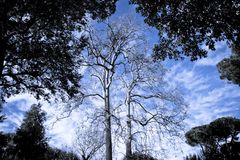 Plane Trees in a italian park Royalty Free Stock Image